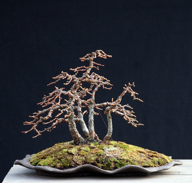 Restyling an old shohin Larch group Larix_11