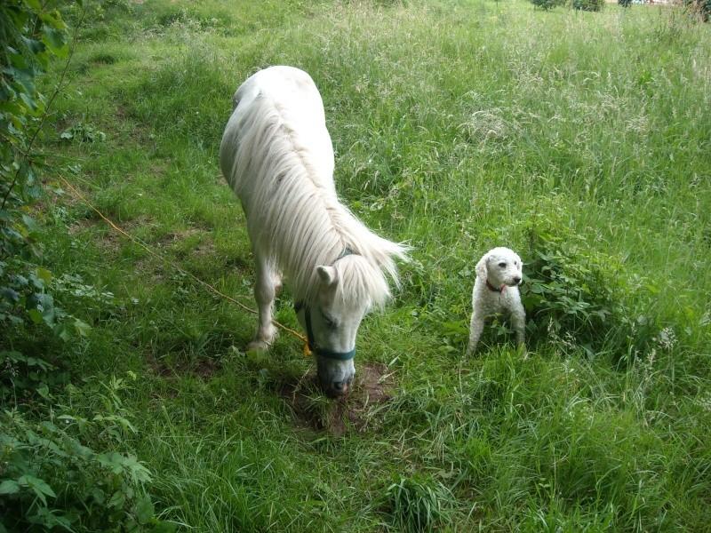 PRISCA - ONC poney typée Shetland née en 1990 - adoptée en septembre 2010 par Delphine - Page 2 Prisca12