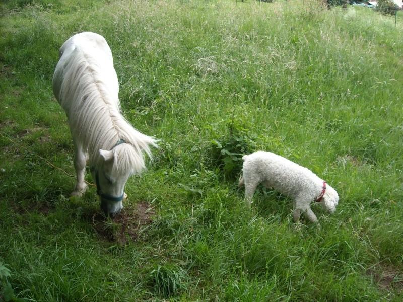 PRISCA - ONC poney typée Shetland née en 1990 - adoptée en septembre 2010 par Delphine - Page 2 Prisca13
