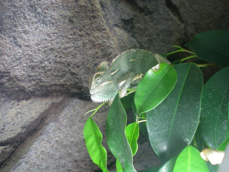 Reptiles mais pas tortue Dscn5410