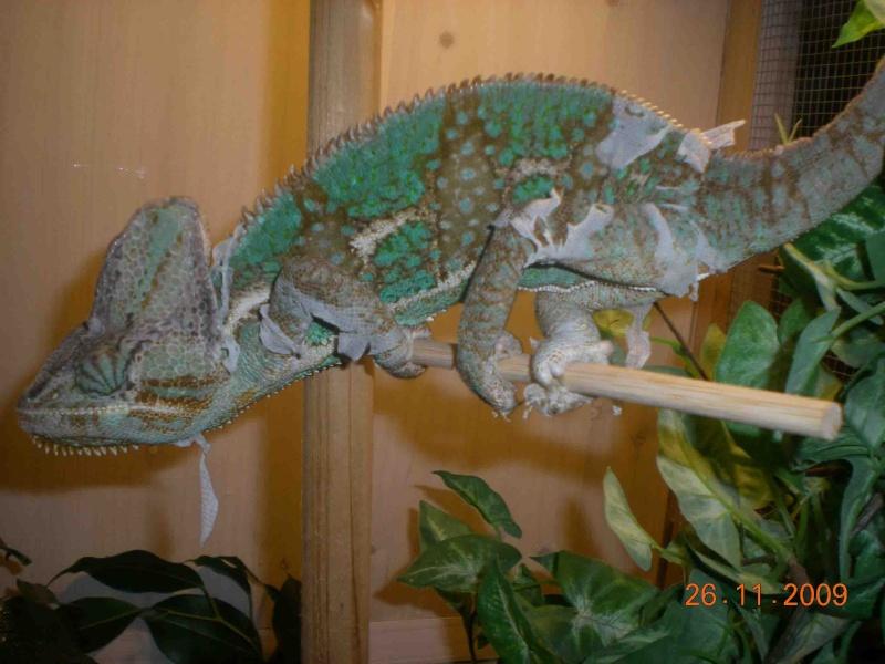 Reptiles mais pas tortue Leon_610