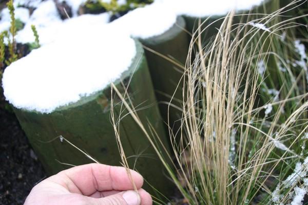 Stipa tenuifolia.....semis naturel !!! 1_410