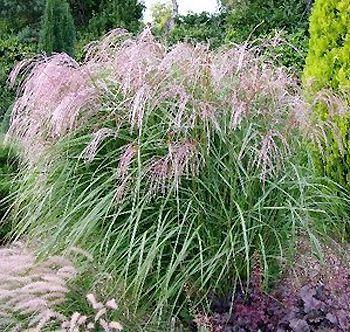 recherche de graminées en graine ou plant 2067-310