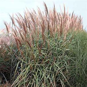recherche de graminées en graine ou plant 3381010