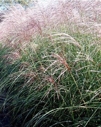 recherche de graminées en graine ou plant 7881-110