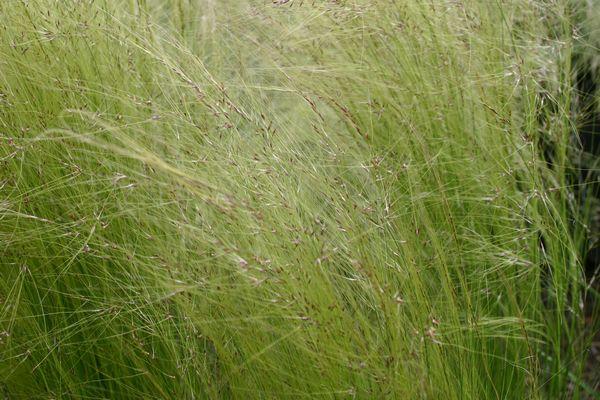Stipa tenuifolia.....semis naturel !!! Img_0076