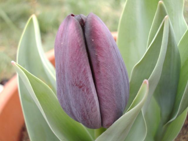 Tulipes - Page 4 Bild0136