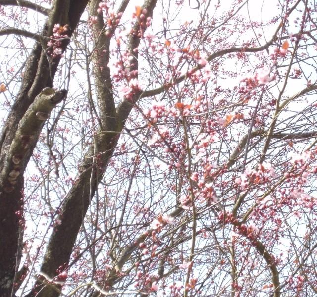 Prunus Bild0139