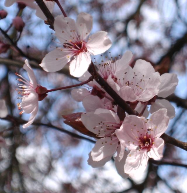 Prunus Bild0140
