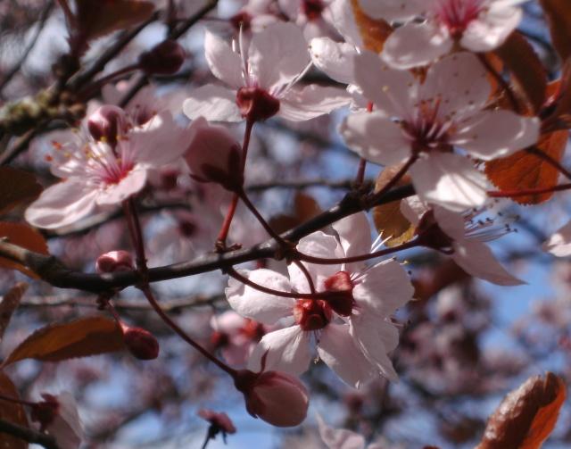 Prunus Bild0141