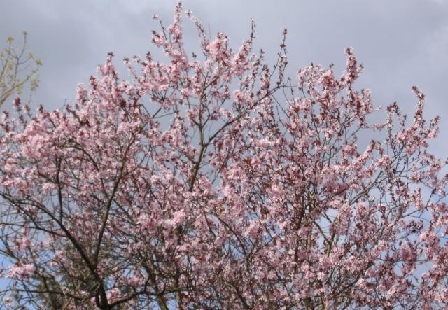Prunus Bild0142