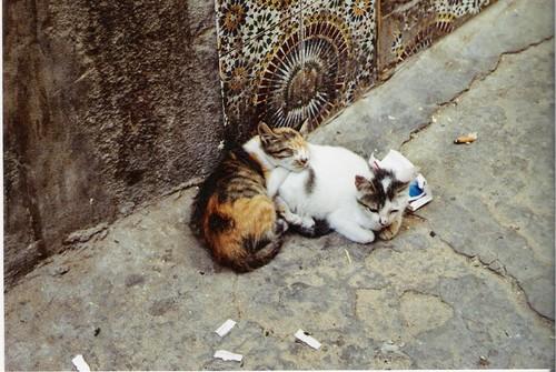 Les Chats d'Essouira M-ccha10