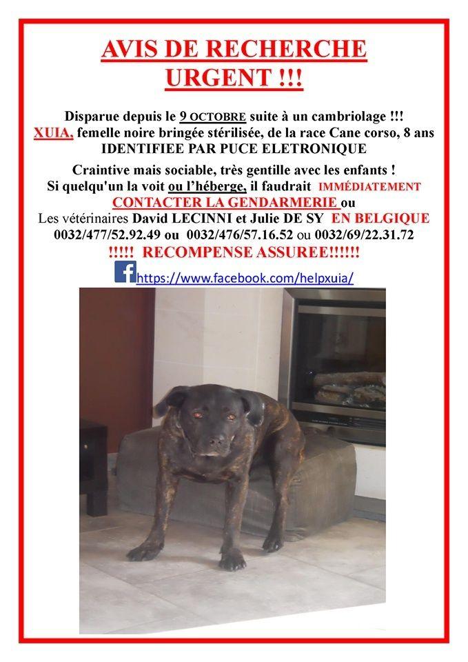 Xuia, femelle bringée, disparue en Belgique, puce 967000002025465 Xuia10