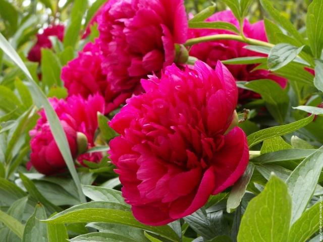 fête des mères, dites le avec des fleurs Pivoin10