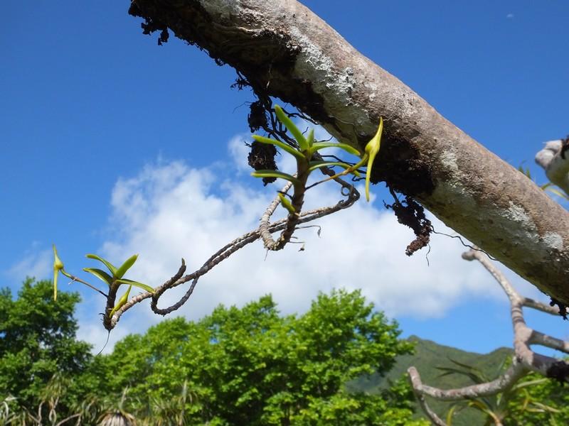Angraecum expansum 40_ang10