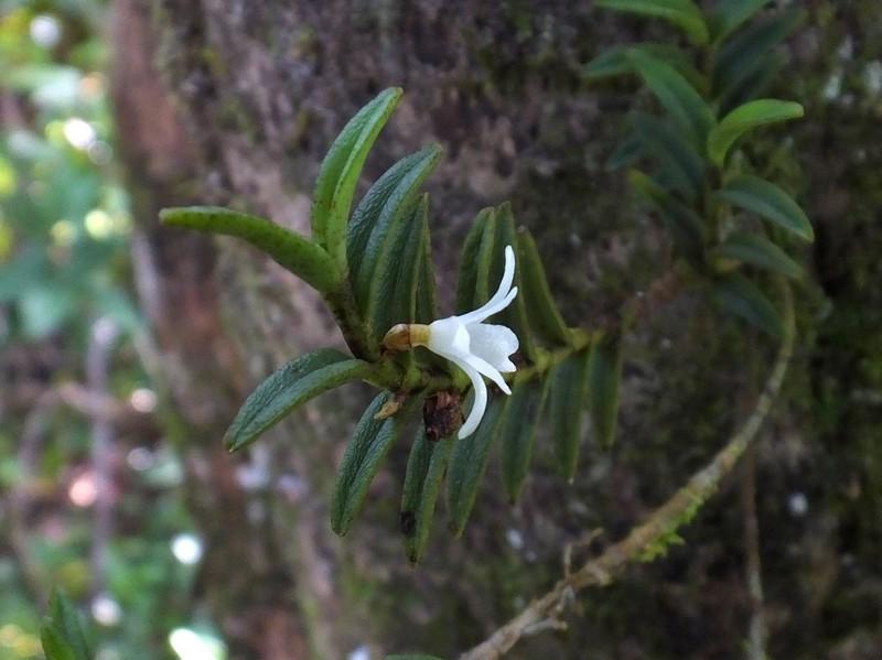 Angraecum pectinatum 44_ang10