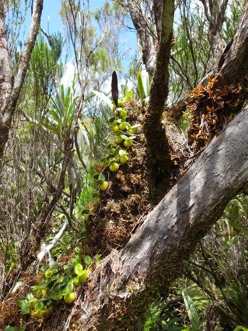 Bulbophyllum nutans 57_byb10
