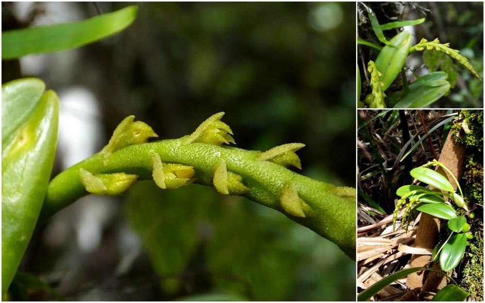 Bulbophyllum sambiranense  62_bul10