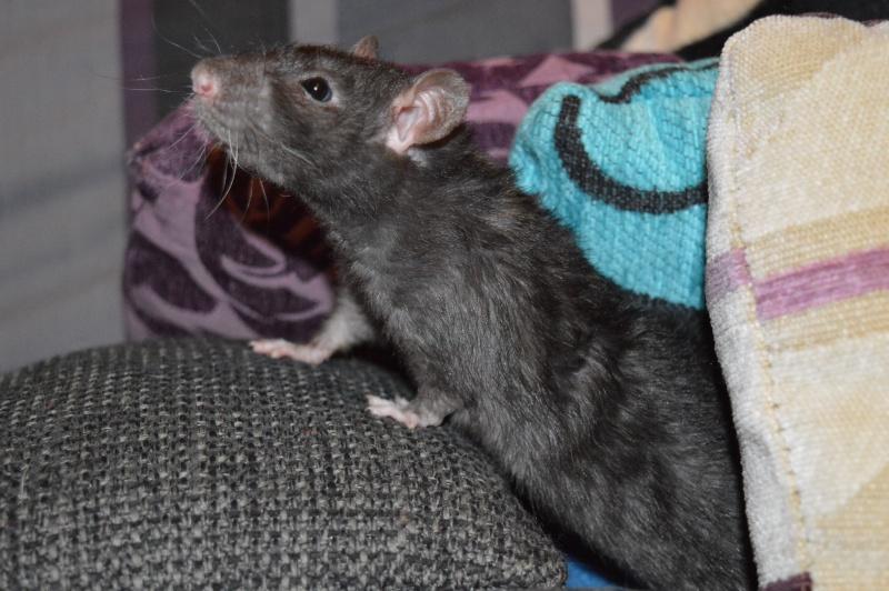 De retour dans le monde du rat Dsc_0026