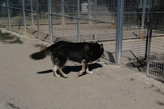 ULLA X Husky née en janvier 2001( f ) adoption uniquement REFU83  - Page 2 11947410