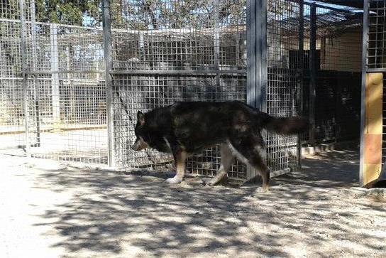 ULLA X Husky née en janvier 2001( f ) adoption uniquement REFU83  - Page 2 11990510