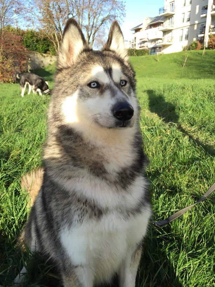 Chouky, Husky 6 ans ASSO39 ADOPTE 12509910
