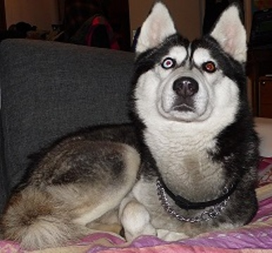 Houligan, Husky 4 ans noir et blanc yeux veiron PART76 Sam_0410