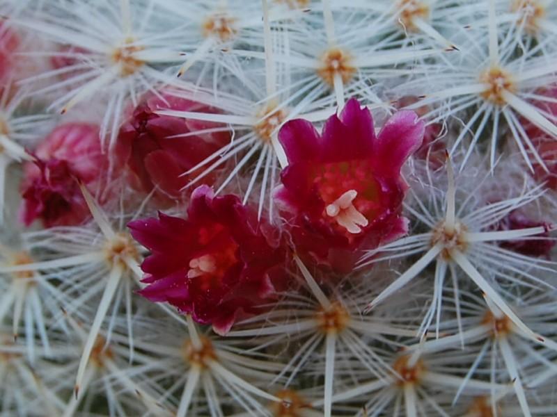 Mammillaria noureddineana 2286-211