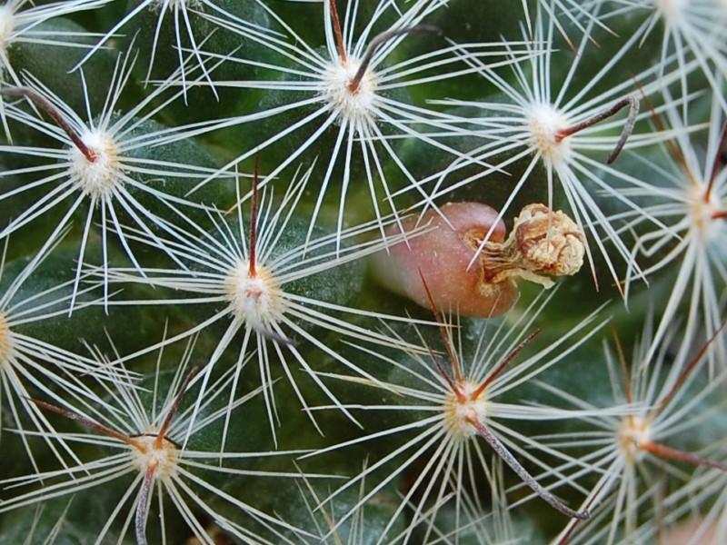 Mammillaria longiflora 2287-211
