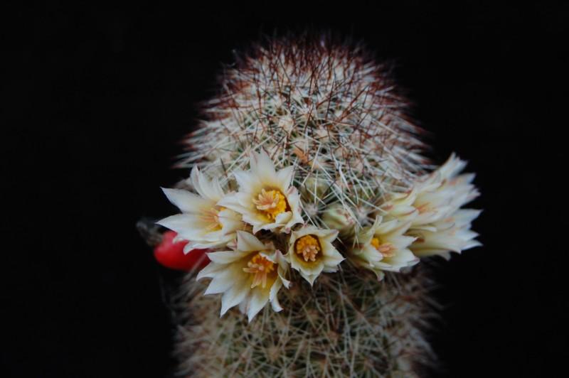 Mammillaria phitauiana 2560-210