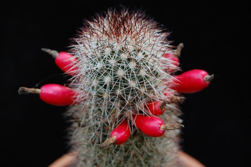 Mammillaria phitauiana 2560-211