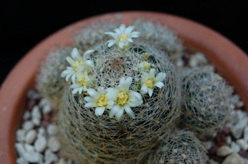 Mammillaria picta 2633-210