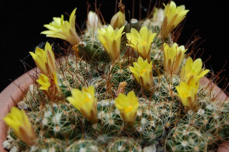 Mammillaria surculosa 2884-210