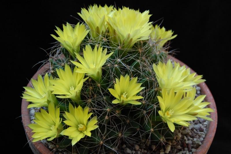 Mammillaria longimamma 3048-210