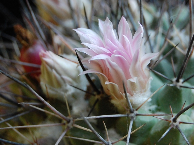 Mammillaria melanocentra 3160-213