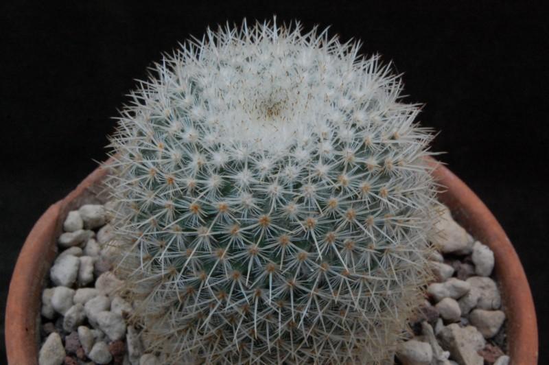 Mammillaria noureddineana 3192-210