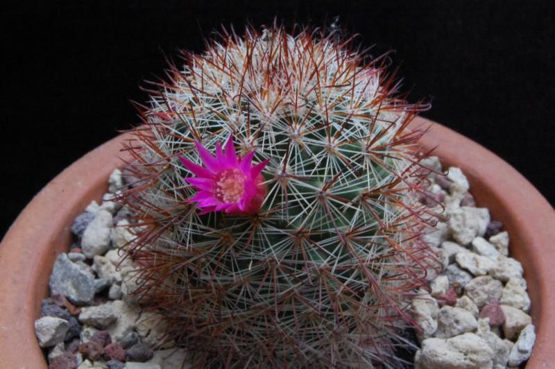 Mammillaria duoformis 3289-210