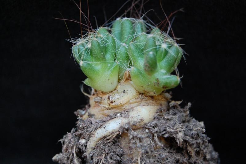 Mammillaria surculosa 3390-210