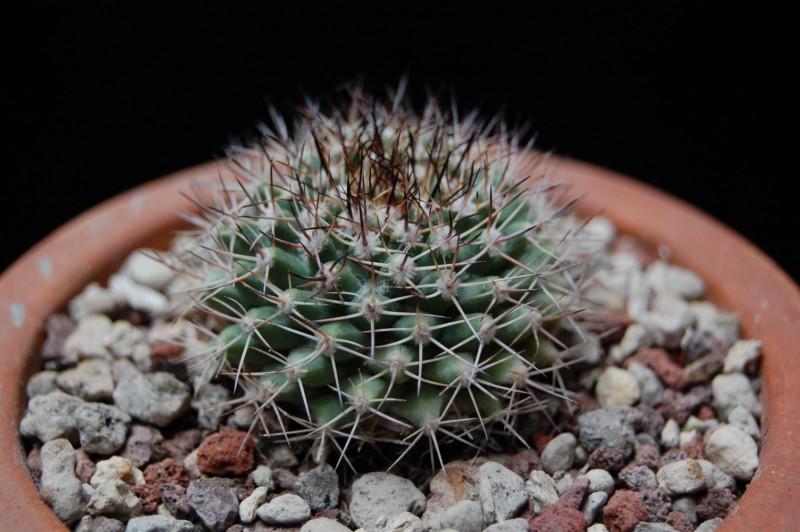 Mammillaria petrophila 3477-210