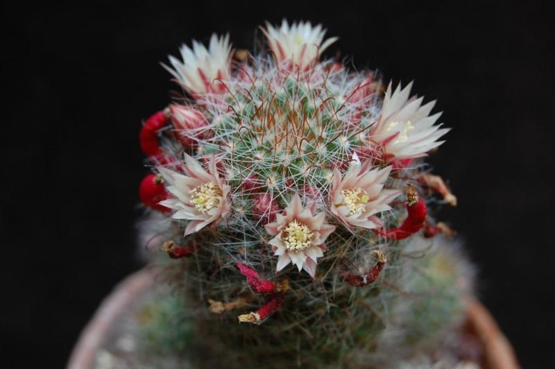 Mammillaria scheidweileriana 3505-210