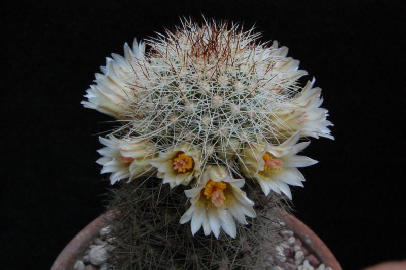 Mammillaria phitauiana 3565-210