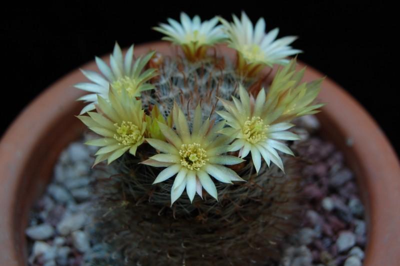 Mammillaria nana 3688-210
