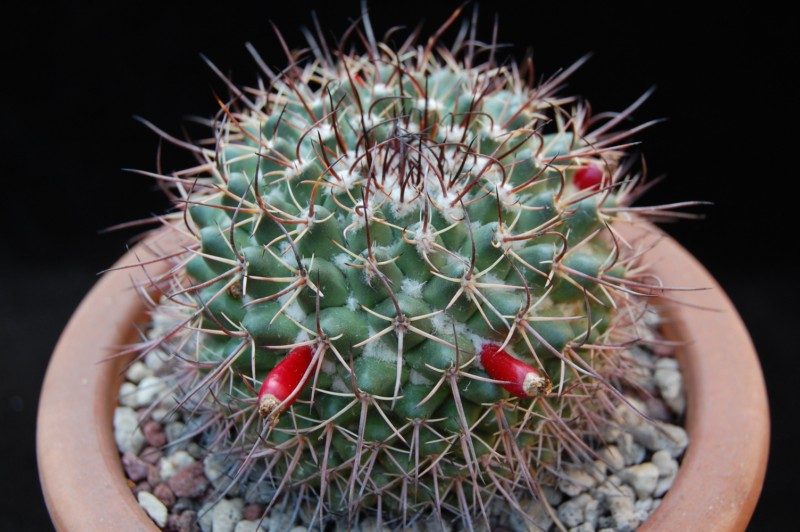 v. zacatecasensis 4008-211