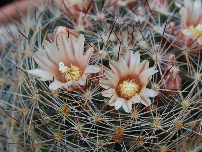 Mammillaria picta 4102_211