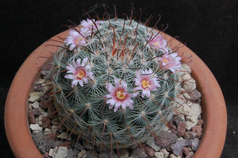 Mammillaria kleiniorum 4283-210