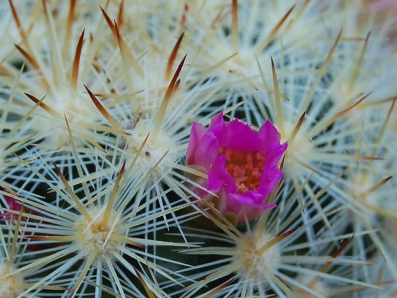 Mammillaria laui 4350-211