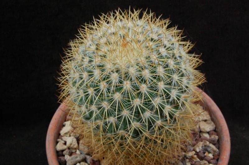 Mammillaria verticealba 4354-210