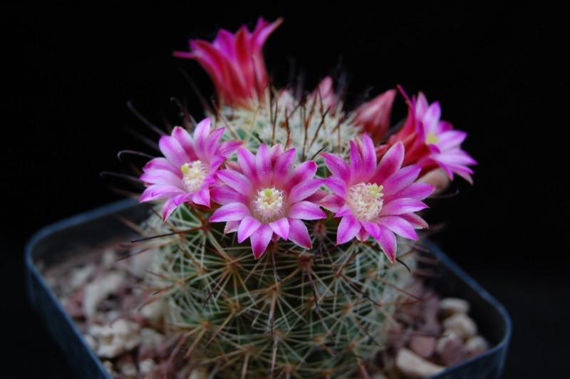 Mammillaria duoformis 5117-210