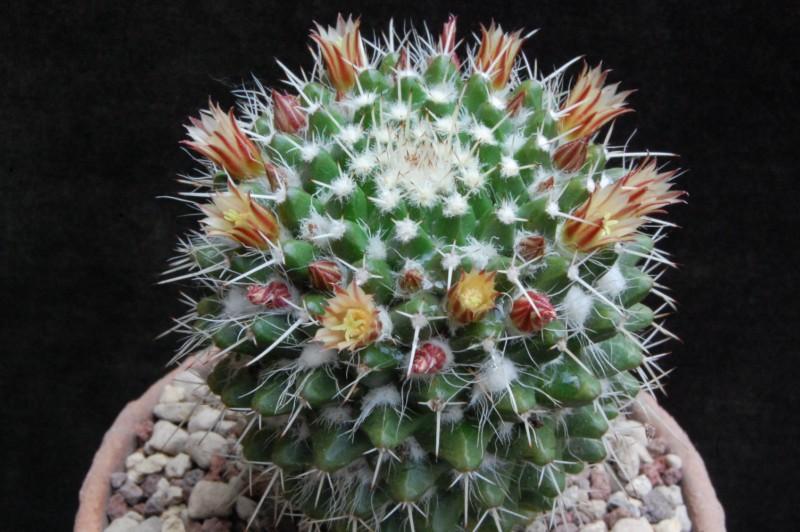 Mammillaria knippeliana 5134-210