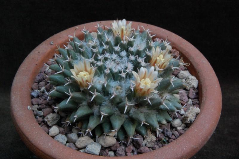 Mammillaria sempervivi 5135-210
